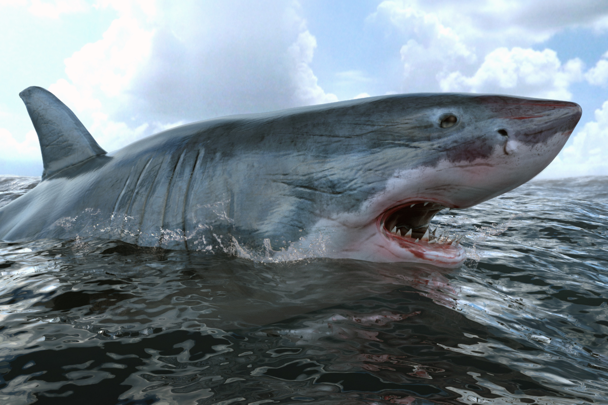 great white shark side view open mouth wwwpixsharkcom