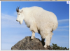 Mountain_Goat.png