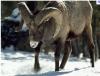Mountain_Sheep.png